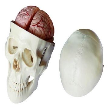 Imagen de Craneo con Cerebro en 8 Partes