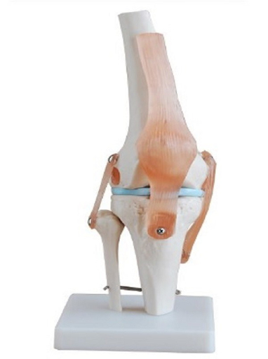 Articulacion de Rodilla con Ligamentos Tamaño Real