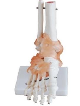 Imagen de Articulacion de Pie con Ligamentos Tamaño Real