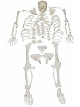 Imagen de Esqueleto Desarticulado Tamaño Real