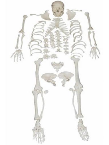 Esqueleto Desarticulado Tamaño Real